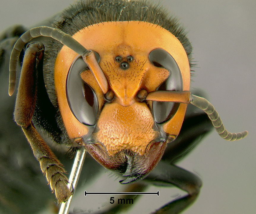 Murder Hornets In US: American And Canada Gear Up To Stop Asian Giants Hornets